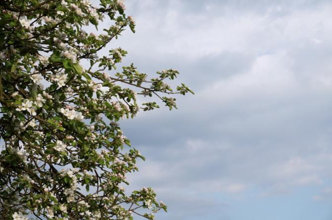 jabloň - strom