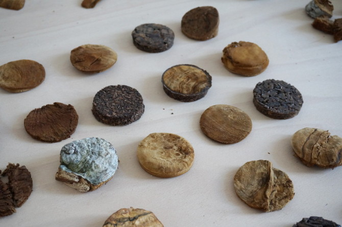 slovanská houba - troudnatec kopytovitý – choroš