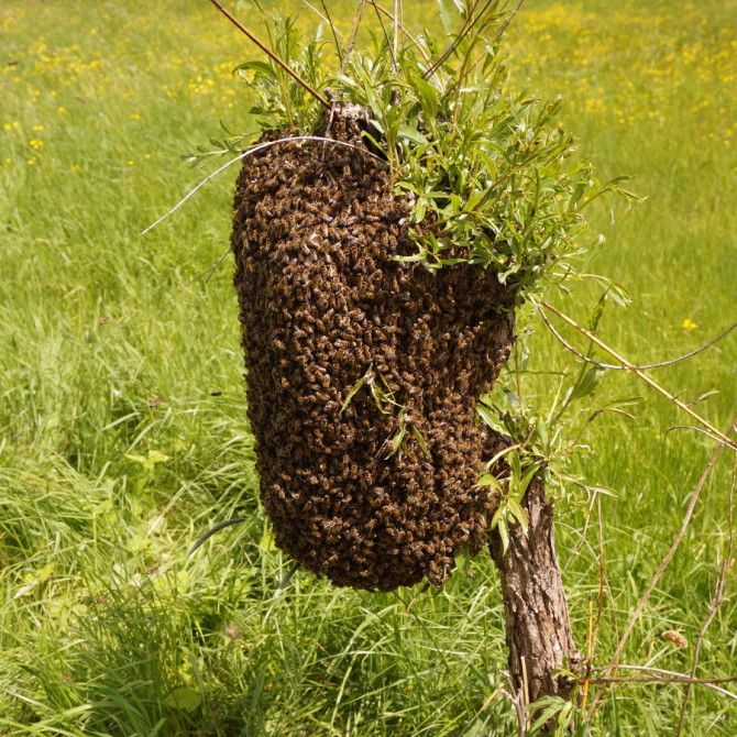roj včel na vrbě