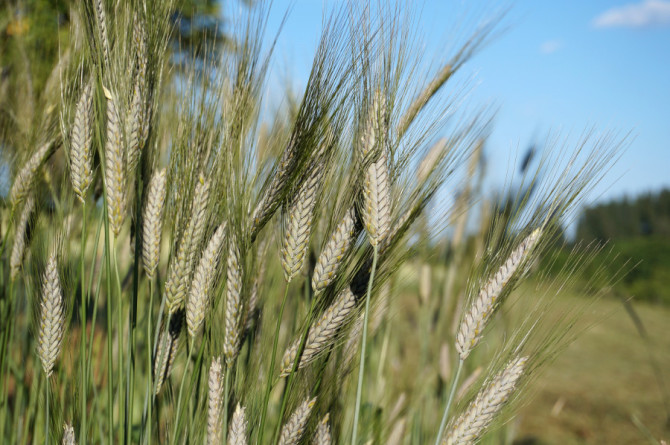 Pšenice Katarka