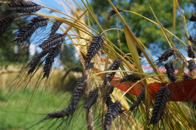Pšenice dvouzrnka – Katarka