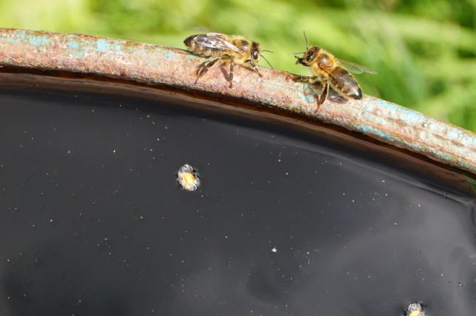 včelky pijou