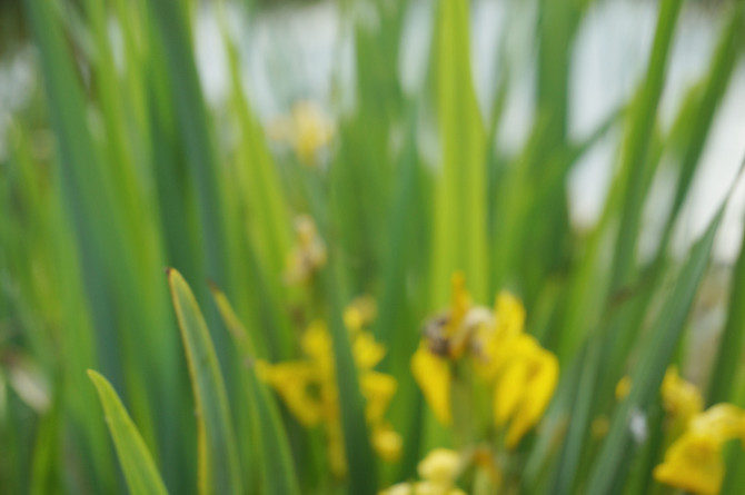 abstraktní žluté kosatce