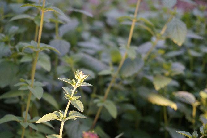 origanum vulgare = dobromysl = čaj :-)